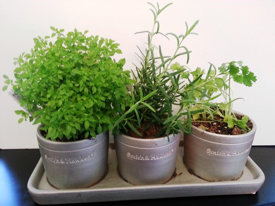 Image of: Growing Herbs Indoors In Pots