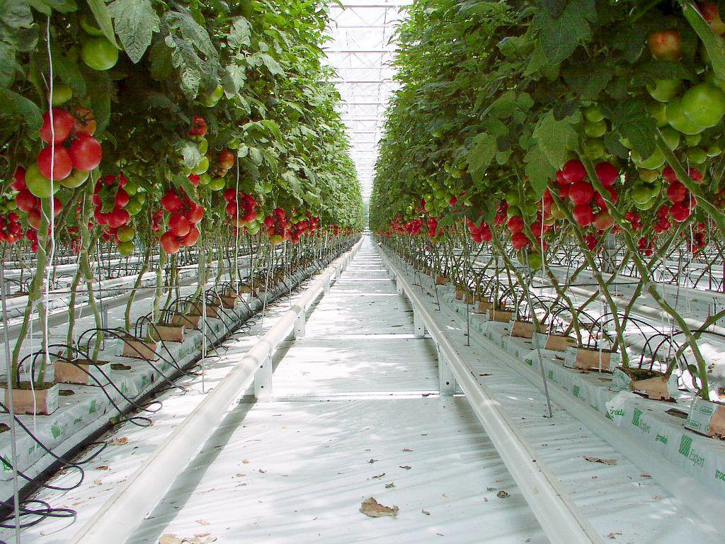 Image of: Growing Hydroponic Tomatoes