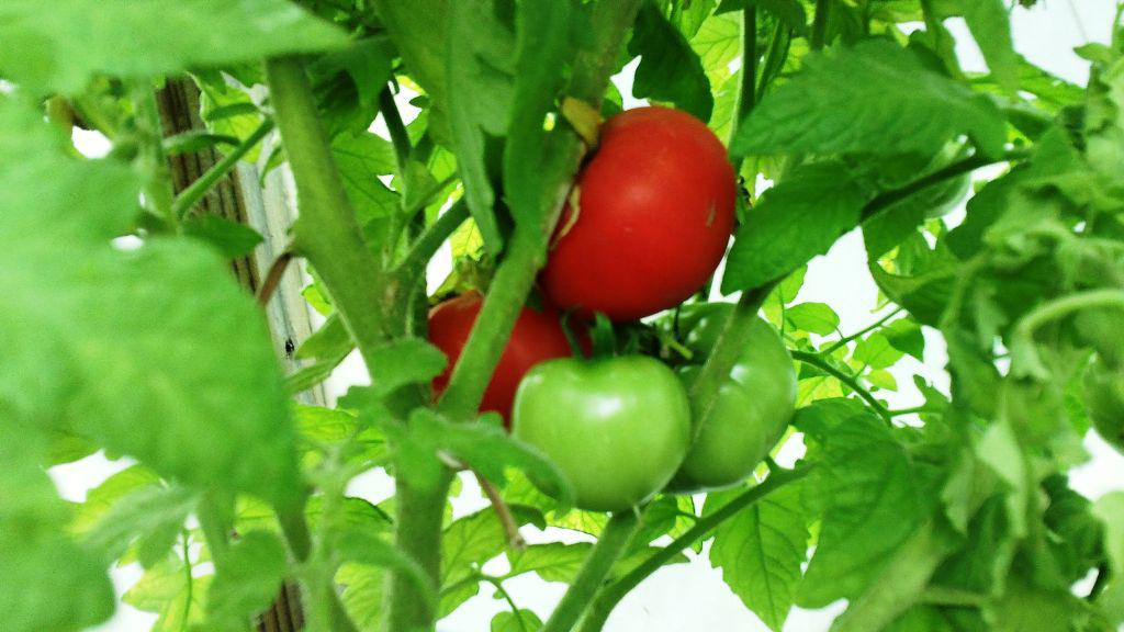 Image of: How to Grow Tomatoes Hydroponically