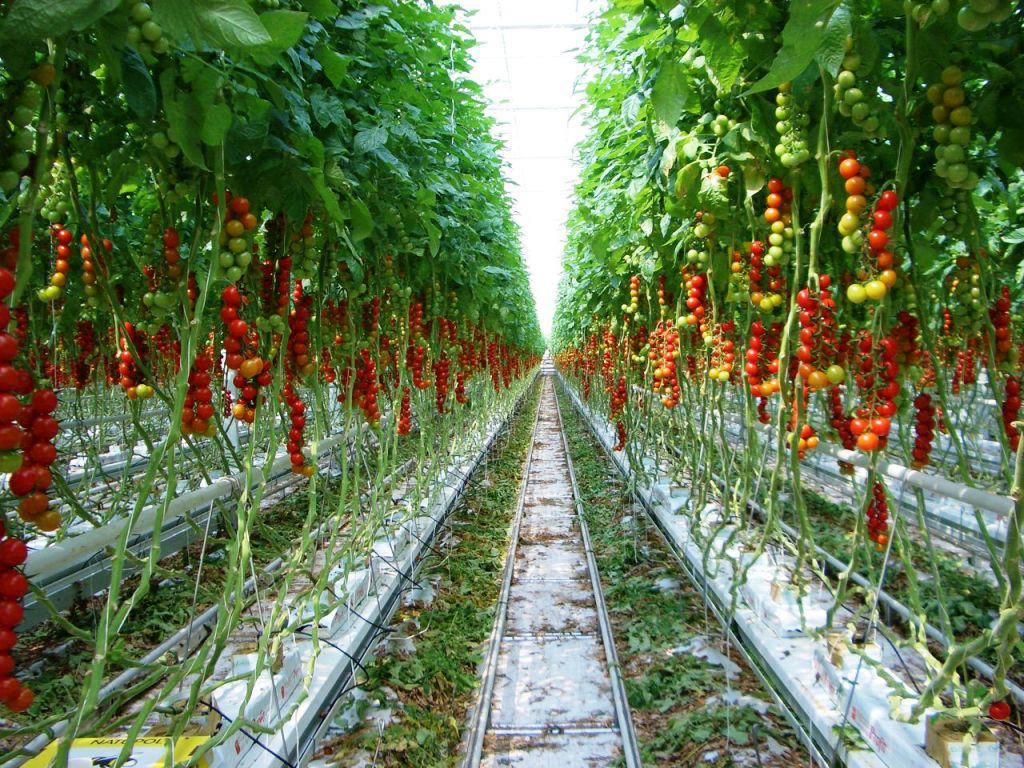 Image of: Hydroponic Greenhouse Tomatoes