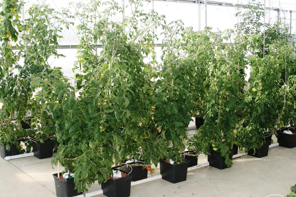 Image of: Hydroponic Tomatoes at Home